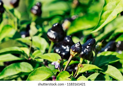 A bunch of black  chili pepper called macarena chili pepper , one small violet and white pepper flower , a bright sunny day in a vegetable garden ,out of focus background