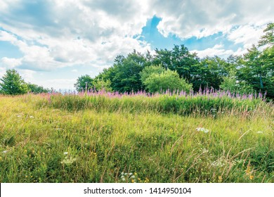bunch of blooming fireweed on the meadow. bright flowers on a sunny day in mountains. blue sky with clouds. plant also called willowherb or Chamaenerion angustifolium.