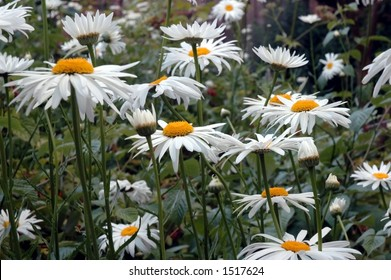 A bunch of blooming Shasta daisies