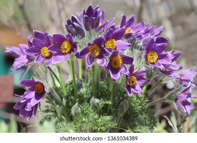 bunch of blossoming pulsatillas, small pasque flower