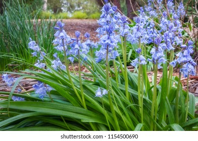 A bunch of Blue Bells in a garden bed at Mount Tomah Botanic Garden in the Blue Mountains, New South Wales, Australia.