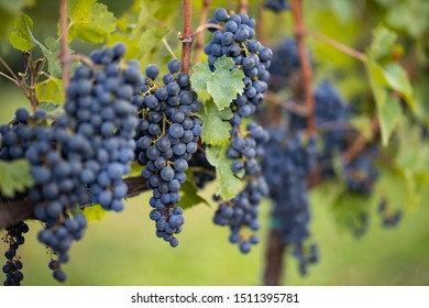 Bunch of blue grapes before the harvest