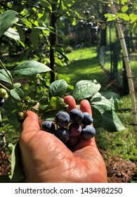 A bunch of blueberries in a female hand on the blueberry farm background, Summer in GA USA.