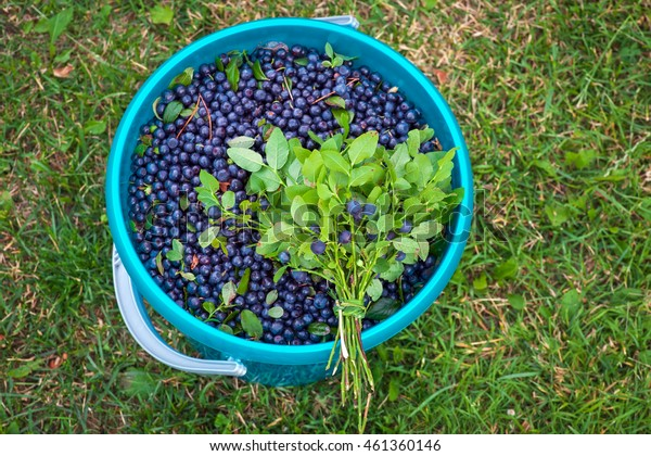 The bunch of blueberries on the bucket with berries. Bucket full of bilberries on the grass. Harvest season summer