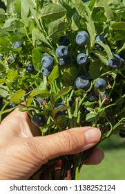 bunch of blueberry with leaves in a female hand