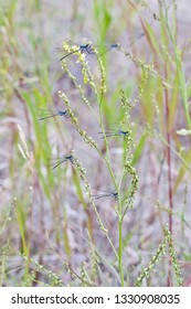 A bunch of blue-green damselflies perched on a herbal plant (insects of Western Siberia).