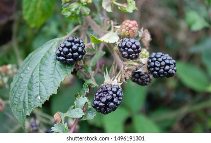 Bunch of brambles close-up with greenery