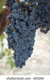 A bunch of cabernet sauvignon wine grapes
