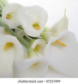 Bunch of Cala Lilies in high key, soft light and a square composition