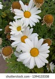 Bunch of Camomille Flowers portrait