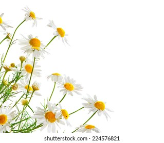 Bunch of Chamomiles isolated on white. Camomille border design