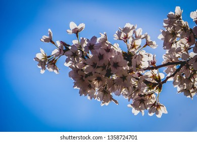 bunch of cherry blossoms on a branch