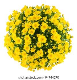 Bunch of chrysanthemum, white isolated background.