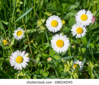 Bunch of close up Daisy (Bellis perennis) in green grass, selective focus, spring floral background
