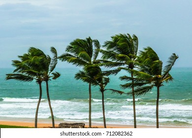 Bunch of coconut trees at coast were bend due to strong wind comming through the sea
