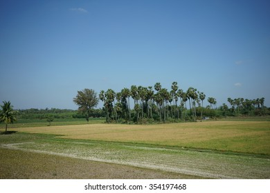 Bunch of coconut trees surrounded by paddy fields