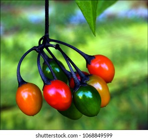 Bunch of colorful Bittersweet berries