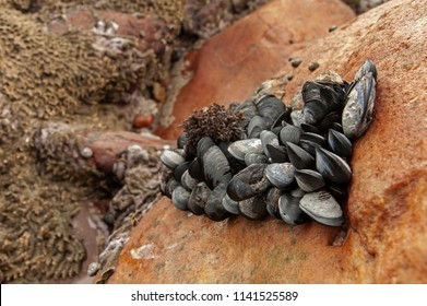 A bunch of common blue mussels exposed during low tide, Clarence drive, Kogel bay, False bay, Western Cape, South Africa. Mytilus edulis.