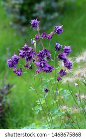 Bunch of Common columbine or Aquilegia vulgaris or European columbine or Grannys nightcap or Grannys bonnet herbaceous perennial plants with branched thinly hairy stems and beautiful layered blooming