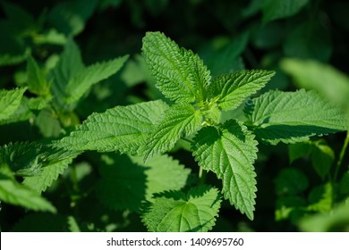 A bunch of common nettles in the ground.