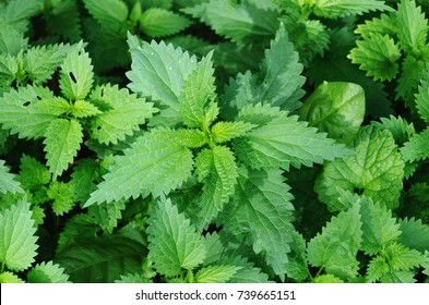 A bunch of common nettles in the ground