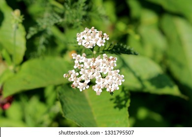 Bunch of Common yarrow or Achillea millefolium or Plumajillo or Herbal militaris or Gordaldo or Nosebleed plant or Old mans pepper or Devils nettle or Sanguinary or Soldiers woundwort or Thousand seal