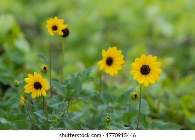 Bunch of cucumberleaf sunflowers blooming on a field.