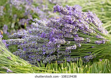 A bunch of cut lavender flowers lying in the field