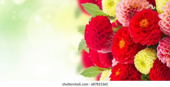Bunch of dahlia flowers over green garden background banner