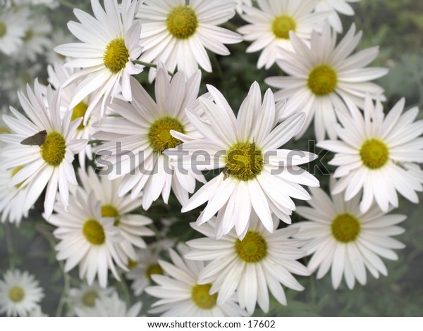 bunch of daisies with edges in misty focus and sharp center focus