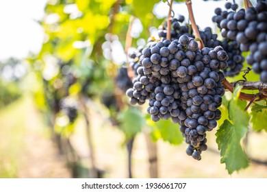 Haufen dunkler Weintrauben, die im Weingarten auf den Weinbergen hängen.