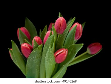 bunch of dark pink wet tulips isolated on black