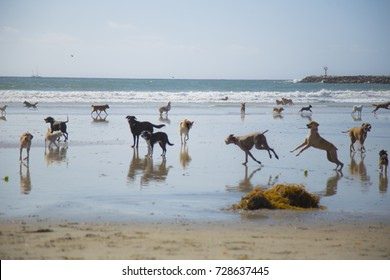 A bunch of dogs running around at dog beach in San Diego, California.