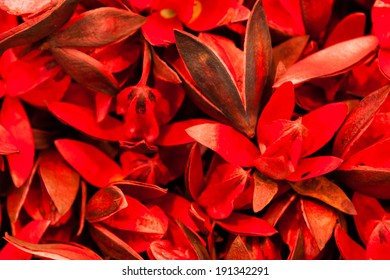 Bunch of dried Wild Red Lily flowers