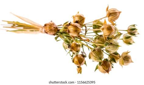 bunch of dry flax plant (Linum usitatissimum) close-up