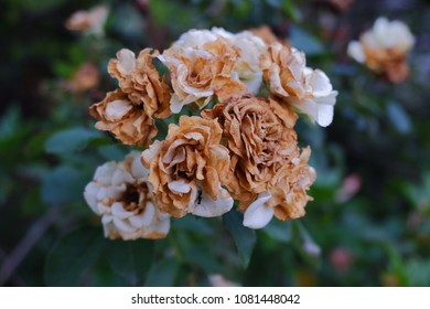 bunch of dry white rose