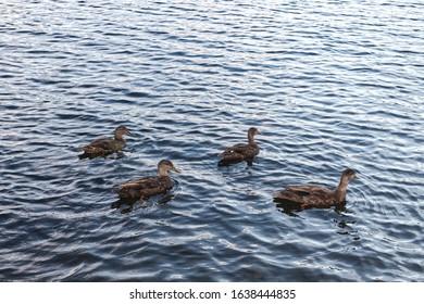 A bunch of ducks on Moosehead Lake