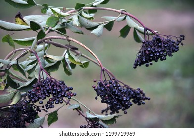 Bunch of elderberries with ripe black berries