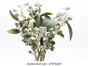 Bunch of eucalyptus gumnuts