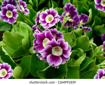 Bunch evening primrose plant (primula vulgaris) purple first spring flower. Background pattern colorful primrose or primula in floral market garden. Colorful pink primroses flowers, primula polyanthus