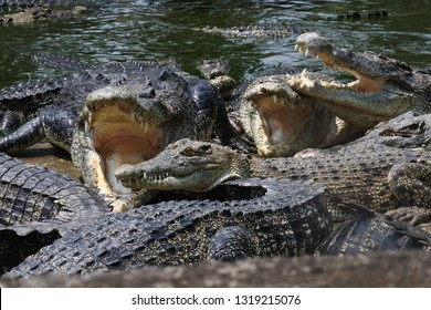 a bunch of ferocious crocodiles enjoying lunch