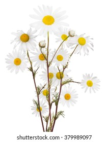 bunch of fine chamomile flowers on white background