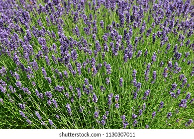 A bunch of flowering lavender in a garden with pollinating bees