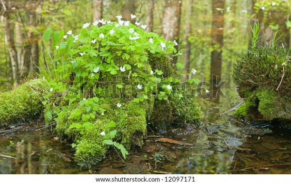 Bunch of flowering woodsorrel growing over mossy tree stump