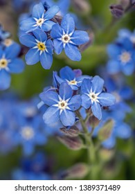 Bunch of Forget-me-not flowers growing in the garden