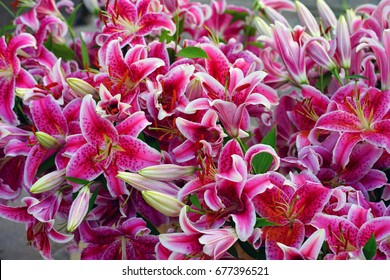 Bunch of fragrant Stargazer pink Asiatic lily flower in bloom