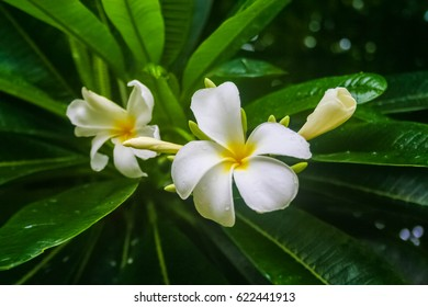 Bunch of frangipani flowers in a tree