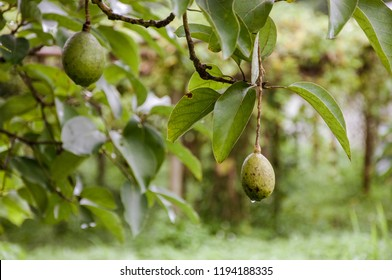 Bunch of fresh avocado fruits on avocado tree, Avocado farm, Organic fruit