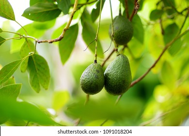 Bunch of fresh avocados ripening on an avocado tree branch in sunny garden, Hawaii, USA