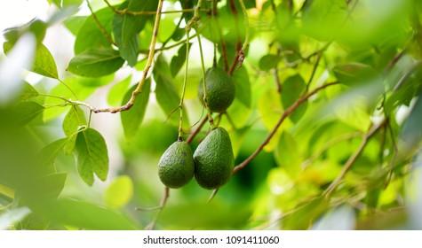 Royalty Free Avocado Tree Images Stock Photos Vectors Shutterstock